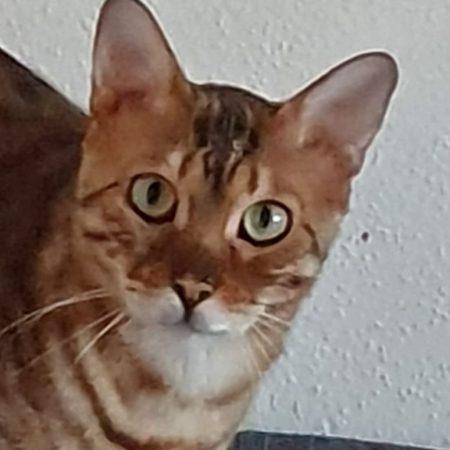 Bengal-Katzen